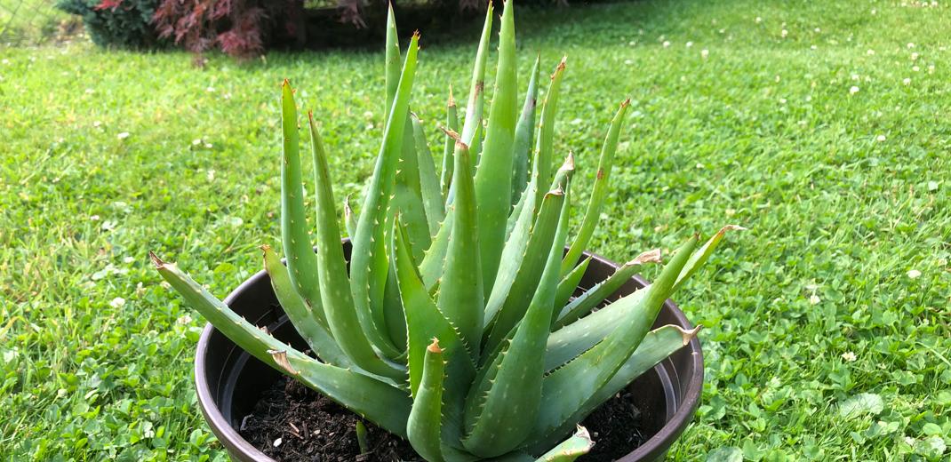 Aloe Vera im Ayurveda
